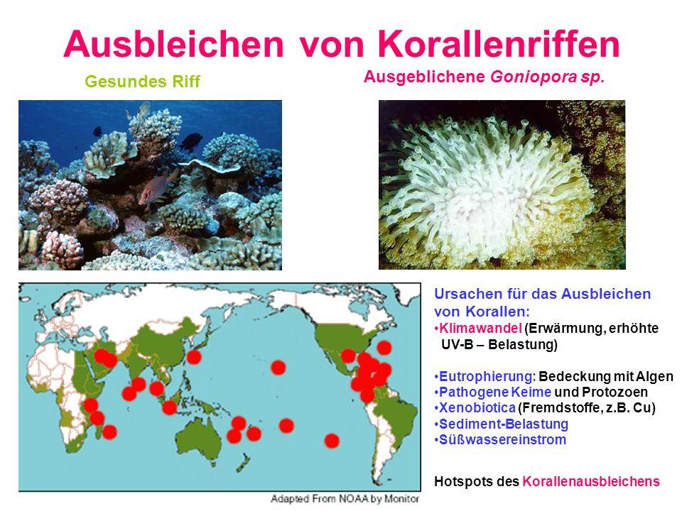 Ausbleichen von Korallenriffen Hotspots des Korallenausbleichens Gesundes Riff Ausgeblichene Goniopora sp. Ursachen für das Ausbleichen von Korallen :