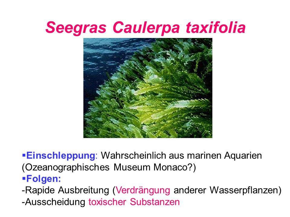 Seegras Caulerpa taxifolia Einschleppung: Wahrscheinlich aus marinen Aquarien (Ozeanographisches Museum Monaco?) Folgen: -Rapide Ausbreitung (Verdräng