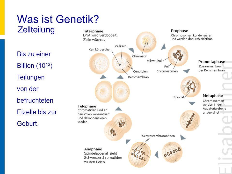 Was ist Genetik? Zellteilung Bis zu einer Billion (10 12 ) Teilungen von der befruchteten Eizelle bis zur Geburt.