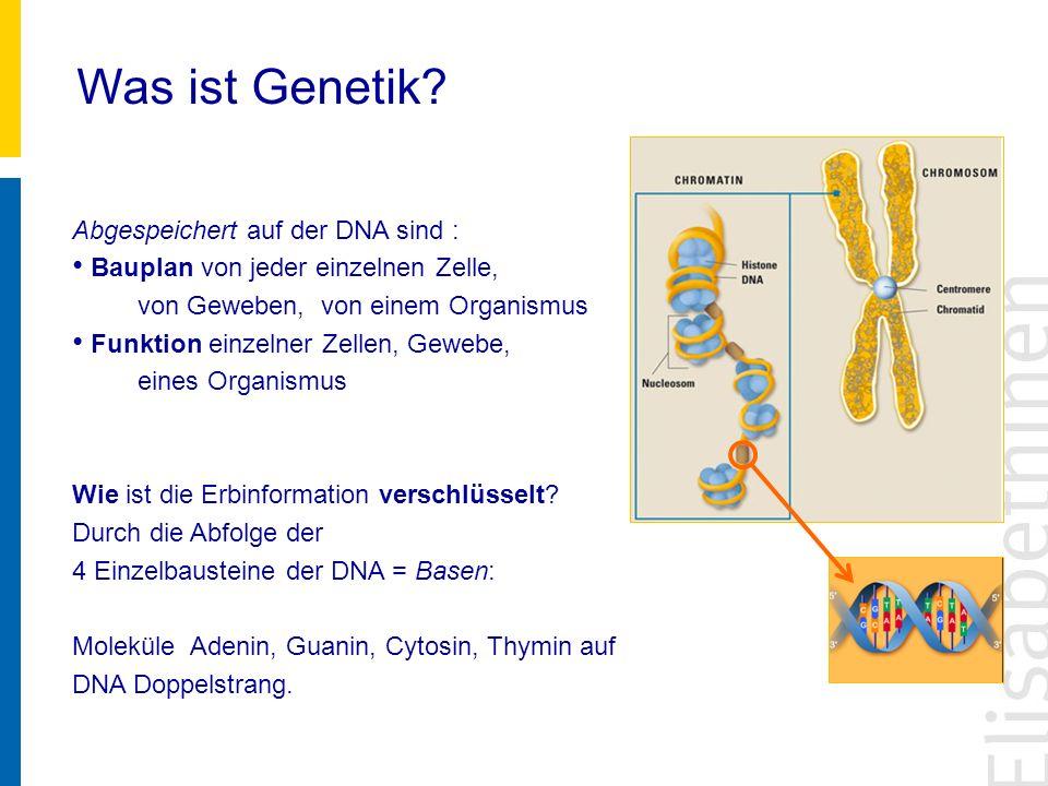 Was ist Genetik? Abgespeichert auf der DNA sind : Bauplan von jeder einzelnen Zelle, von Geweben, von einem Organismus Funktion einzelner Zellen, Gewe