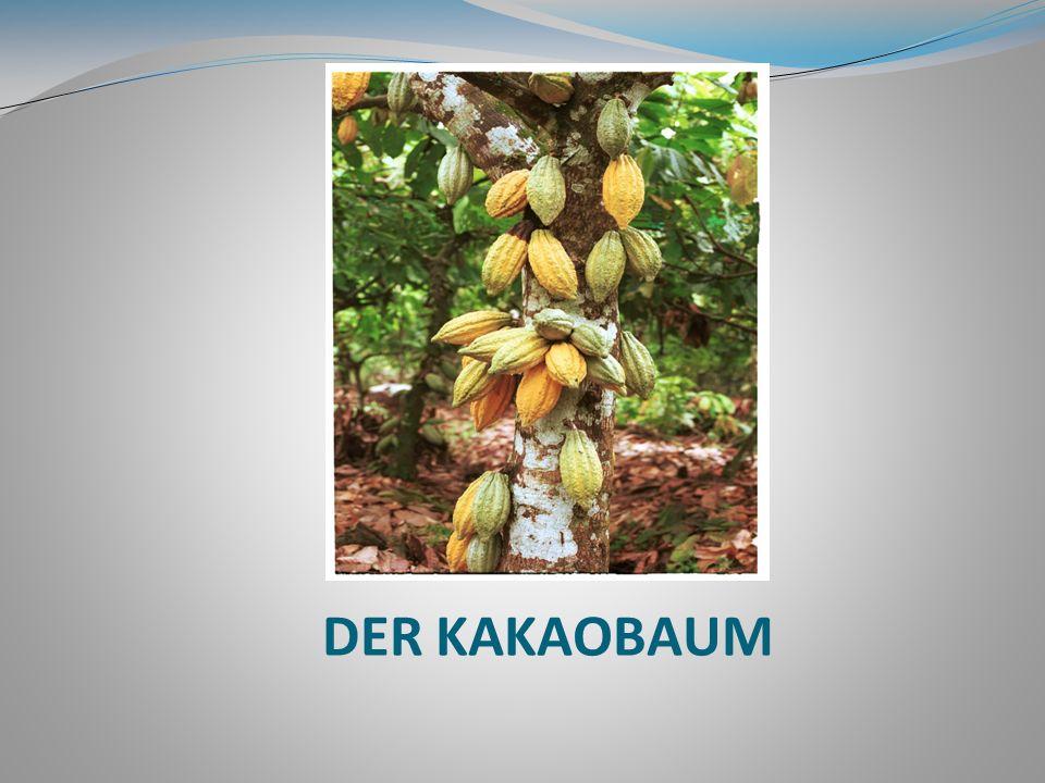 Verwendung des Kakaos bei einem Todesfall und der Beerdigung Bei der Geburt eines Kuna dient der Kakao dazu, das Kind zu stärken, und wenn der Kuna stirbt, wird der Kakao verwendet, um den Geist des Toten in den Himmel steigen zu lassen.