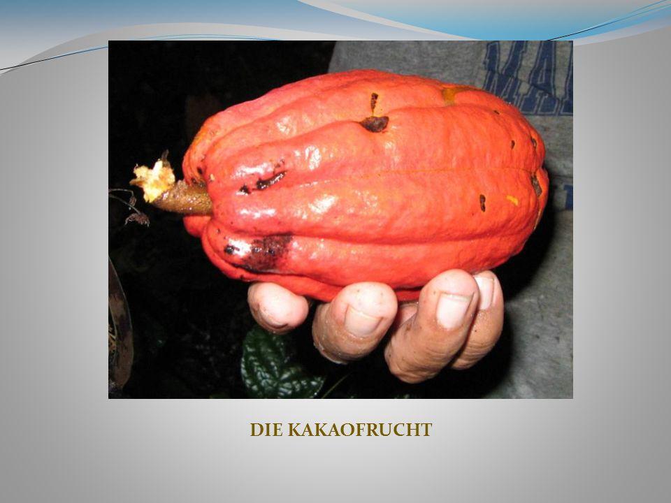 KULTURELLE, SPIRITUELLE UND NUTRITIONELLE BEDEUTUNG DES KAKAOS Kakao spielt bei Zeremonien eine sehr wichtige Rolle, im tagtäglichen Leben hingegen ist seine Verwendung sehr vielseitig.