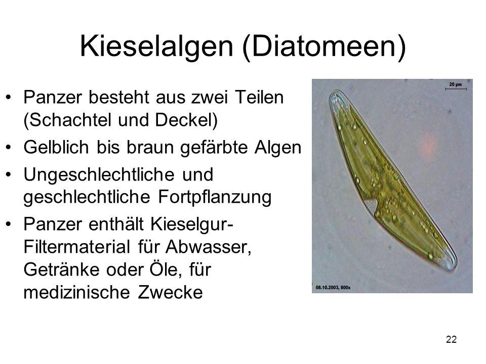 22 Kieselalgen (Diatomeen) Panzer besteht aus zwei Teilen (Schachtel und Deckel) Gelblich bis braun gefärbte Algen Ungeschlechtliche und geschlechtlic