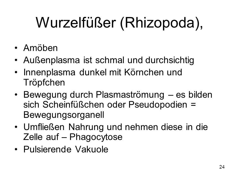 24 Wurzelfüßer (Rhizopoda), Amöben Außenplasma ist schmal und durchsichtig Innenplasma dunkel mit Körnchen und Tröpfchen Bewegung durch Plasmaströmung