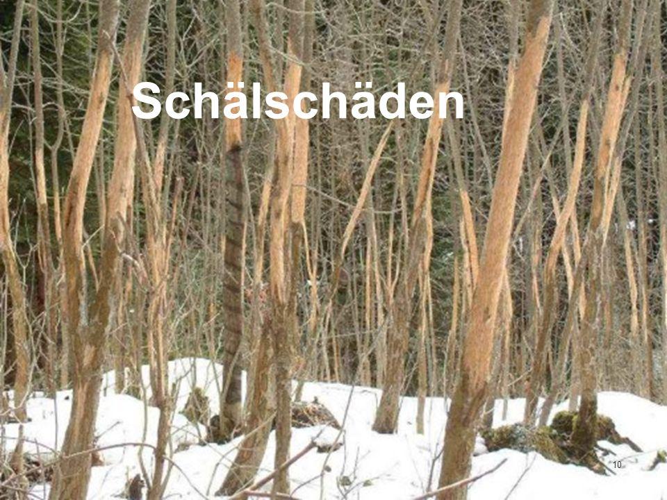 Winterfütterung Rummendingen Kunz Bruno 26.03.2011 Schälschäden 10