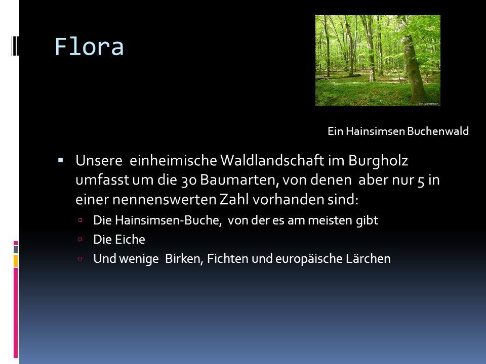 Flora Unsere einheimische Waldlandschaft im Burgholz umfasst um die 30 Baumarten, von denen aber nur 5 in einer nennenswerten Zahl vorhanden sind: Die Hainsimsen-Buche, von der es am meisten gibt Die Eiche Und wenige Birken, Fichten und europäische Lärchen Ein Hainsimsen Buchenwald