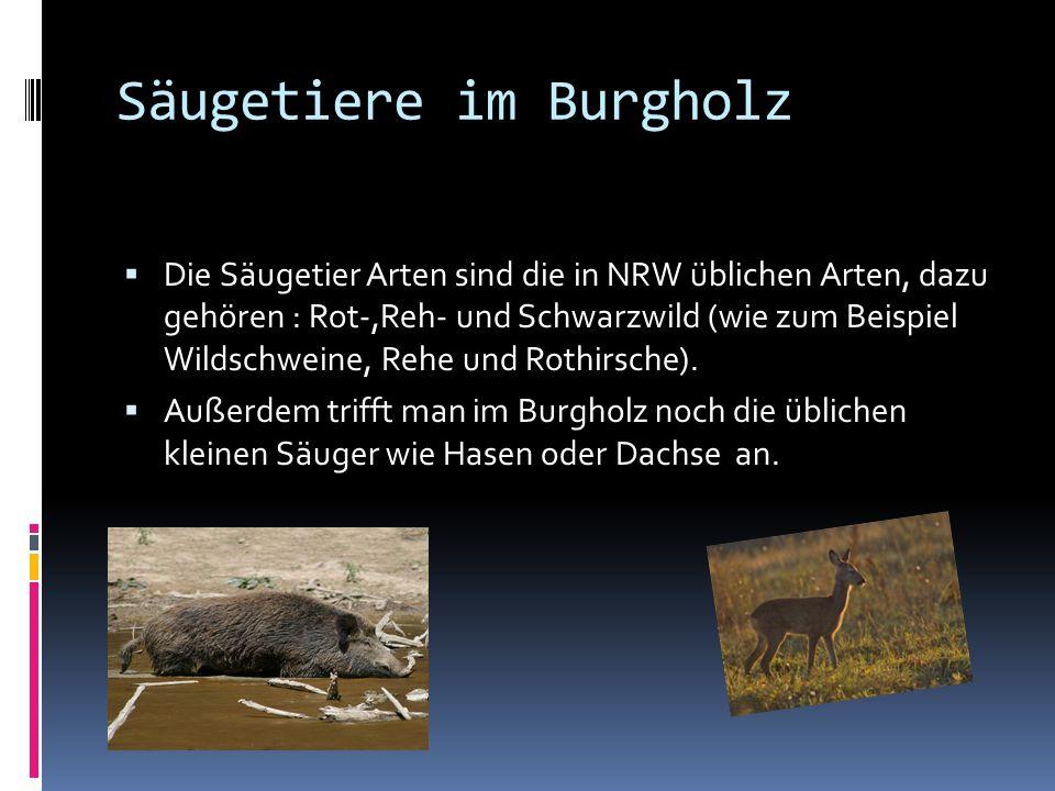 Säugetiere im Burgholz Die Säugetier Arten sind die in NRW üblichen Arten, dazu gehören : Rot-,Reh- und Schwarzwild (wie zum Beispiel Wildschweine, Rehe und Rothirsche).
