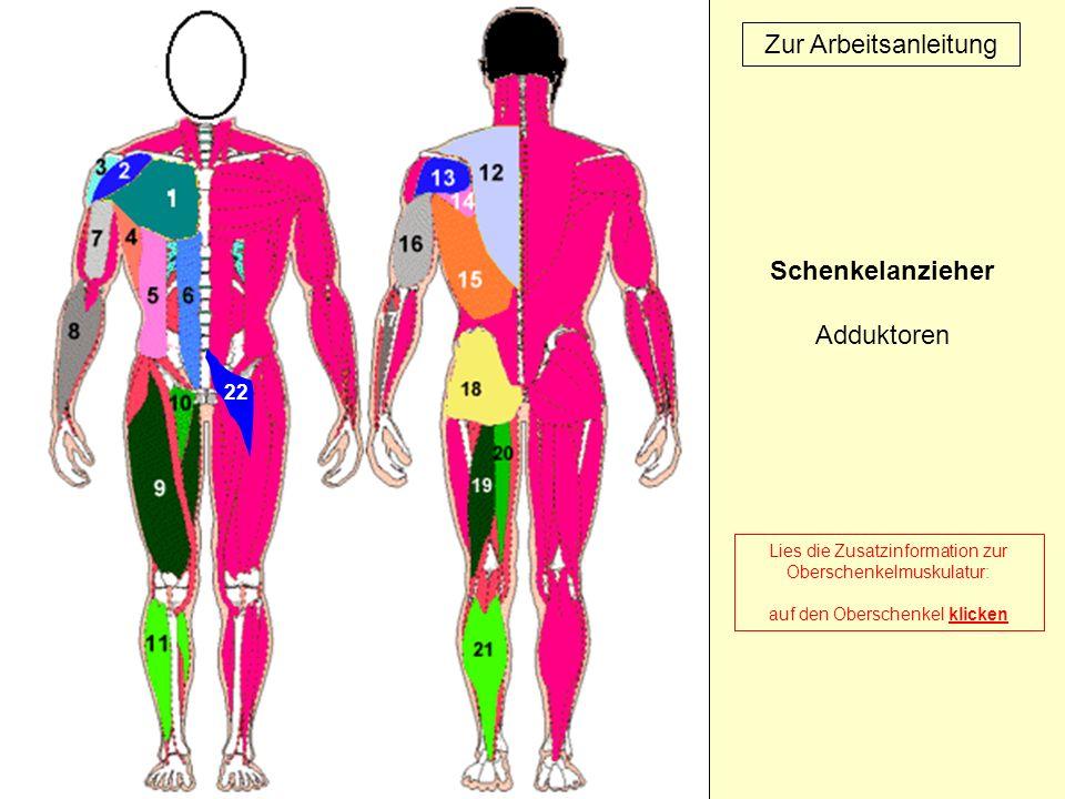 22 Zur Arbeitsanleitung Lies die Zusatzinformation zur Oberschenkelmuskulatur: auf den Oberschenkel klicken Schenkelanzieher Adduktoren