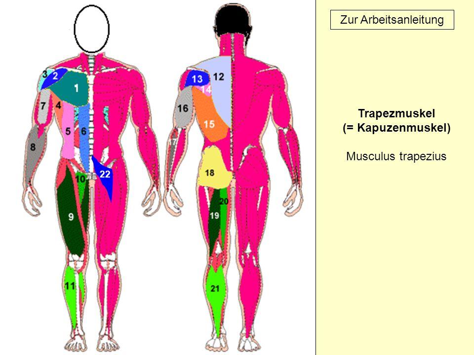22 Zur Arbeitsanleitung Trapezmuskel (= Kapuzenmuskel) Musculus trapezius