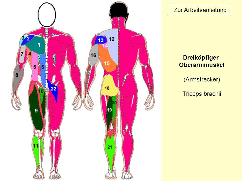 22 Zur Arbeitsanleitung Dreiköpfiger Oberarmmuskel (Armstrecker) Triceps brachii