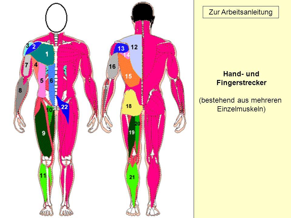 22 Zur Arbeitsanleitung Hand- und Fingerstrecker (bestehend aus mehreren Einzelmuskeln)