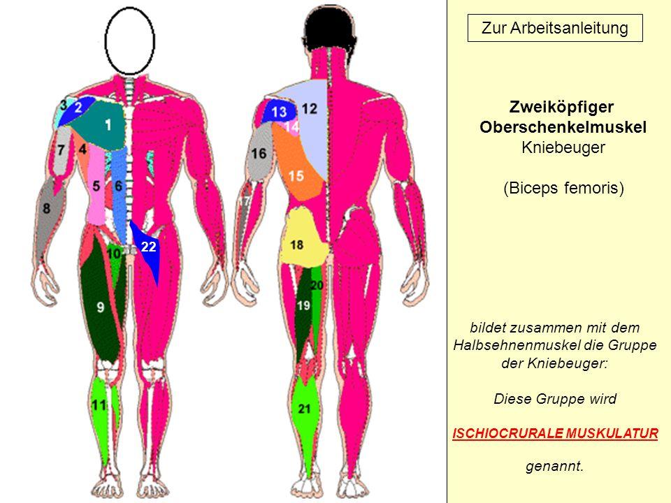 22 Zur Arbeitsanleitung Zweiköpfiger Oberschenkelmuskel Kniebeuger (Biceps femoris) bildet zusammen mit dem Halbsehnenmuskel die Gruppe der Kniebeuger: Diese Gruppe wird ISCHIOCRURALE MUSKULATUR genannt.