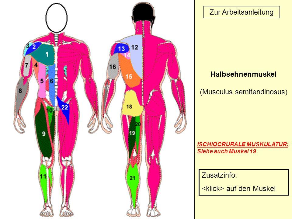 22 Zur Arbeitsanleitung Halbsehnenmuskel (Musculus semitendinosus) ISCHIOCRURALE MUSKULATUR: Siehe auch Muskel 19 Zusatzinfo: auf den Muskel