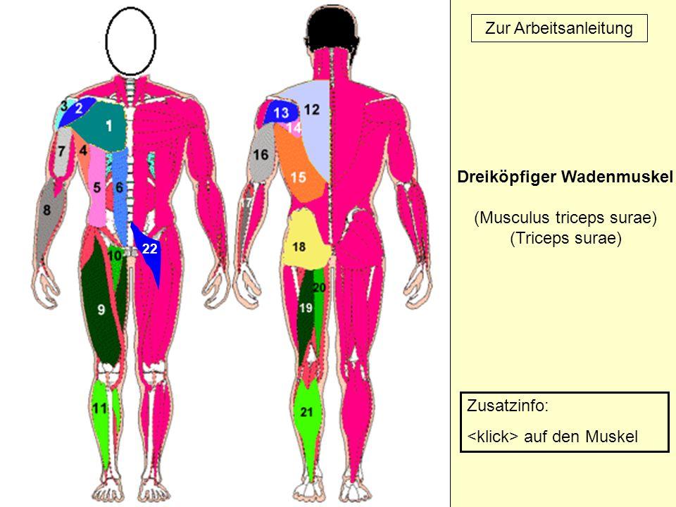 22 Zur Arbeitsanleitung Dreiköpfiger Wadenmuskel (Musculus triceps surae) (Triceps surae) Zusatzinfo: auf den Muskel