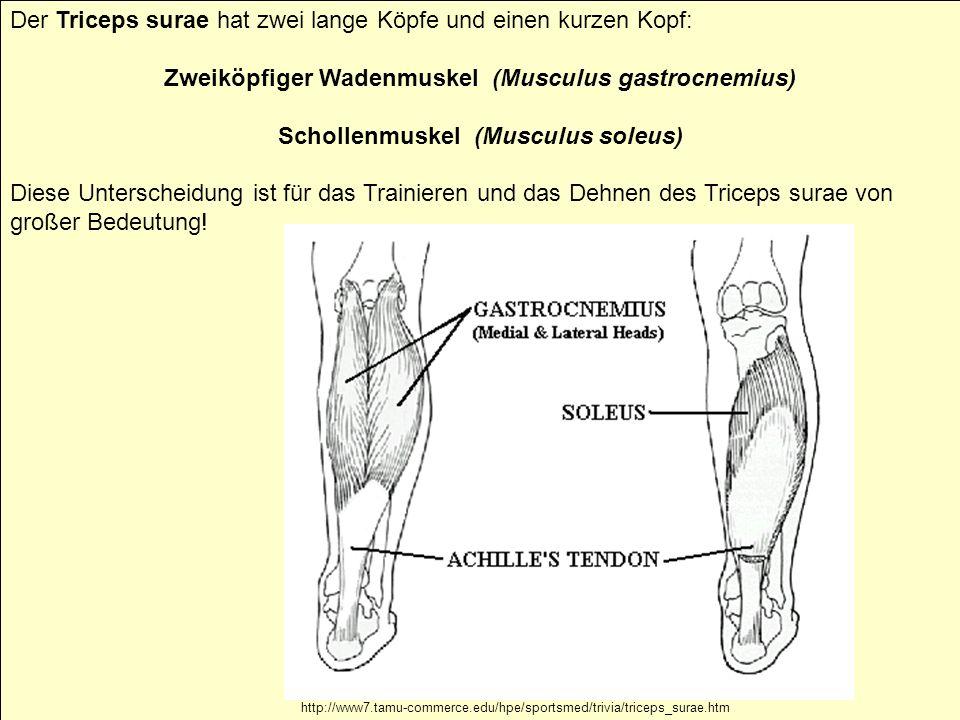 22 Zur Arbeitsanleitung Der Triceps surae hat zwei lange Köpfe und einen kurzen Kopf: Zweiköpfiger Wadenmuskel (Musculus gastrocnemius) Schollenmuskel (Musculus soleus) Diese Unterscheidung ist für das Trainieren und das Dehnen des Triceps surae von großer Bedeutung.