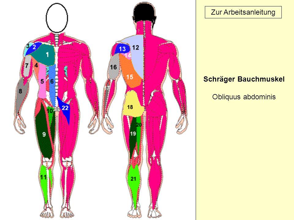 22 Zur Arbeitsanleitung Schräger Bauchmuskel Obliquus abdominis