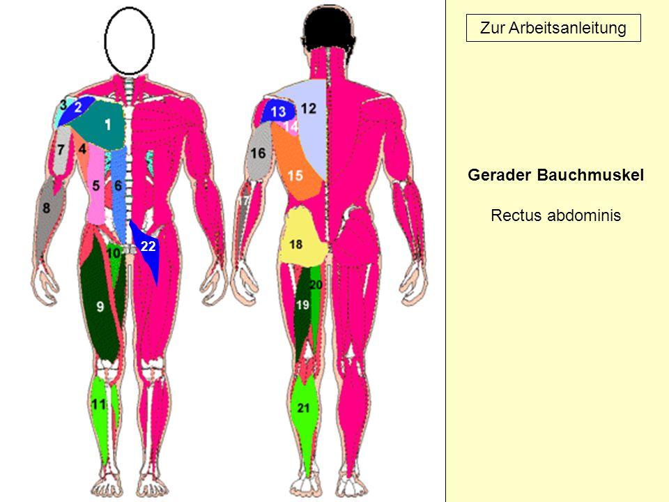 22 Zur Arbeitsanleitung Gerader Bauchmuskel Rectus abdominis