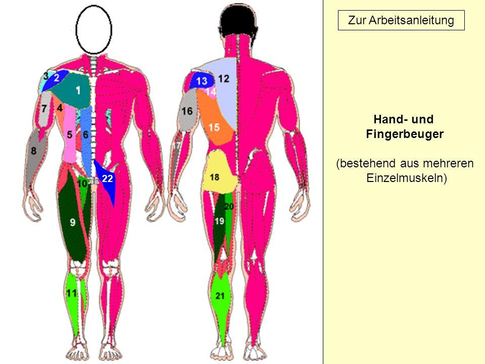 22 Zur Arbeitsanleitung Hand- und Fingerbeuger (bestehend aus mehreren Einzelmuskeln)