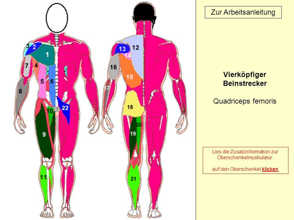 22 Zur Arbeitsanleitung Vierköpfiger Beinstrecker Quadriceps femoris Lies die Zusatzinformation zur Oberschenkelmuskulatur: auf den Oberschenkel klick