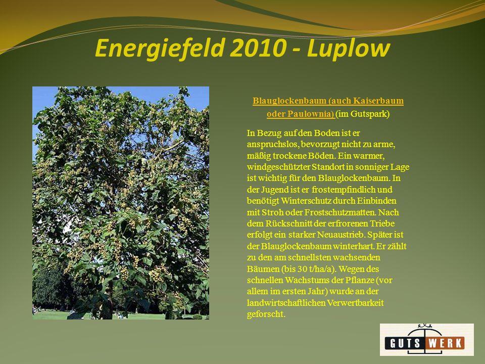 Energiefeld 2010 - Luplow Blauglockenbaum (auch Kaiserbaum oder Paulownia) (im Gutspark) In Bezug auf den Boden ist er anspruchslos, bevorzugt nicht zu arme, mäßig trockene Böden.