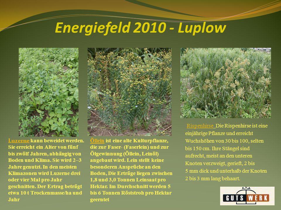Energiefeld 2010 - Luplow Sonnenblumen erreichen eine Wuchshöhe von 1 bis 3,5 m.