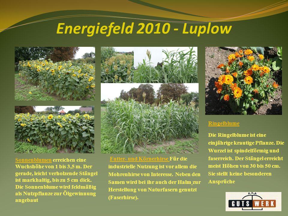 Energiefeld 2010 - Luplow Malve/ Sida Pflanzenhöhe 3 bis 4 m, Ertrag - Frischmasse bis 100 t/ha, keine besonderen Standortansprüche, als Brennstoff, zur Energiegewinnung und stoffliche Nutzung (z.B.