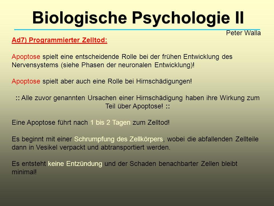 Biologische Psychologie II Peter Walla Ad7) Programmierter Zelltod: Apoptose spielt eine entscheidende Rolle bei der frühen Entwicklung des Nervensyst