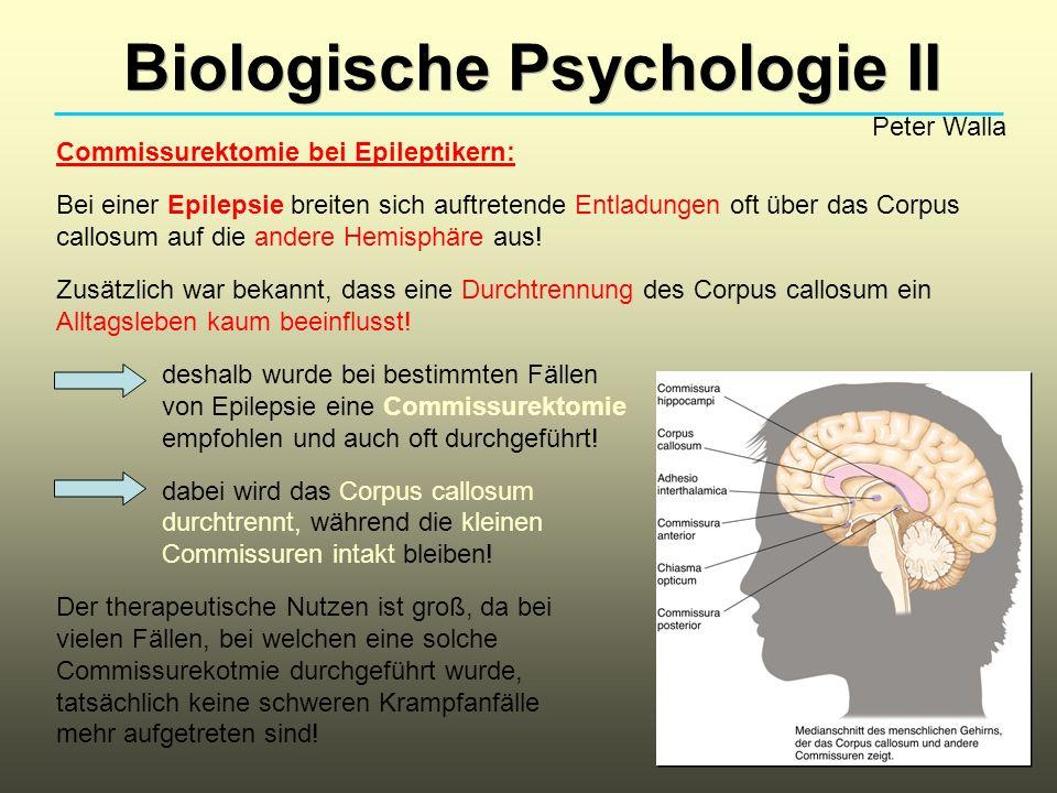 Biologische Psychologie II Peter Walla Commissurektomie bei Epileptikern: Bei einer Epilepsie breiten sich auftretende Entladungen oft über das Corpus