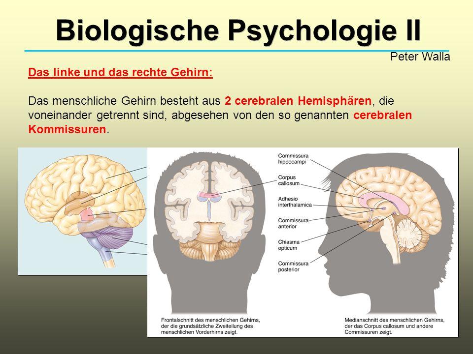 Biologische Psychologie II Peter Walla Das linke und das rechte Gehirn: Das menschliche Gehirn besteht aus 2 cerebralen Hemisphären, die voneinander g