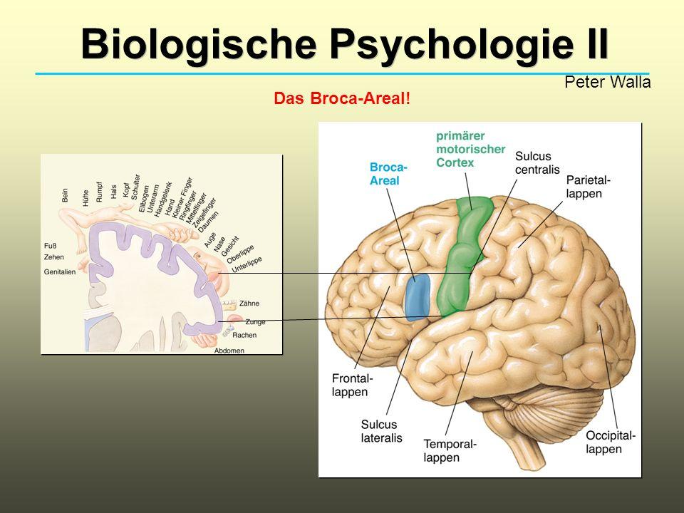 Biologische Psychologie II Peter Walla Das Broca-Areal!