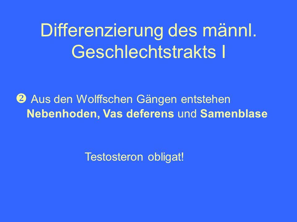 Differenzierung des männl. Geschlechtstrakts I Aus den Wolffschen Gängen entstehen Nebenhoden, Vas deferens und Samenblase Testosteron obligat!