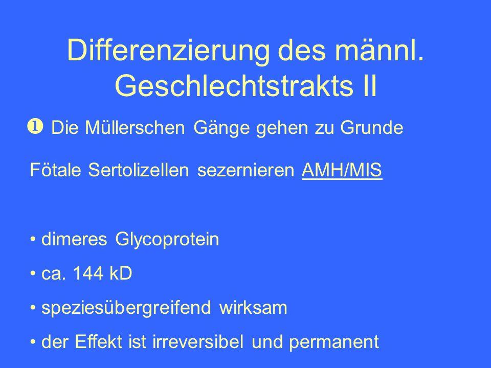 Differenzierung des männl. Geschlechtstrakts II Die Müllerschen Gänge gehen zu Grunde Fötale Sertolizellen sezernieren AMH/MIS dimeres Glycoprotein ca