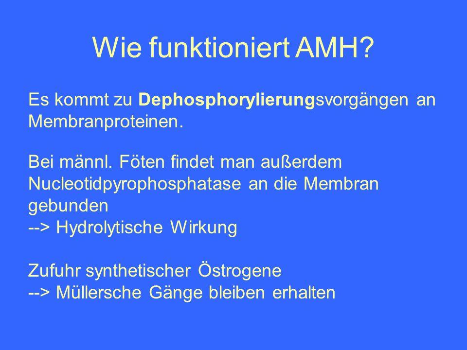 Wie funktioniert AMH? Bei männl. Föten findet man außerdem Nucleotidpyrophosphatase an die Membran gebunden --> Hydrolytische Wirkung Zufuhr synthetis