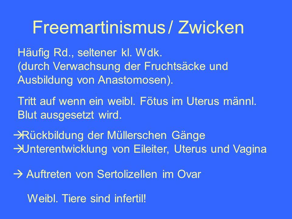 Freemartinismus / Zwicken Tritt auf wenn ein weibl. Fötus im Uterus männl. Blut ausgesetzt wird. Rückbildung der Müllerschen Gänge Unterentwicklung vo