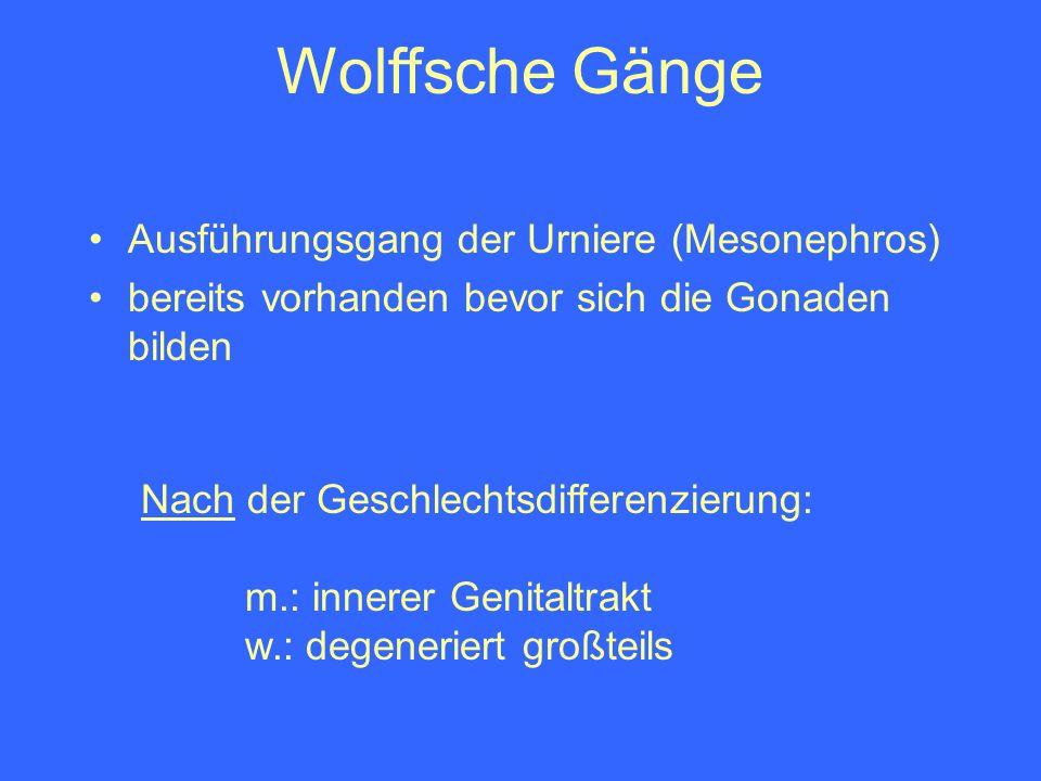 Wolffsche Gänge Nach der Geschlechtsdifferenzierung: m.: innerer Genitaltrakt w.: degeneriert großteils Ausführungsgang der Urniere (Mesonephros) bere
