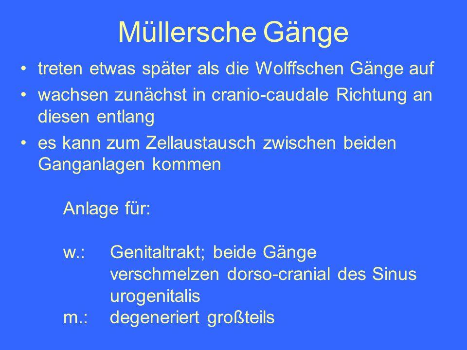 Müllersche Gänge Anlage für: w.: Genitaltrakt; beide Gänge verschmelzen dorso-cranial des Sinus urogenitalis m.: degeneriert großteils treten etwas sp