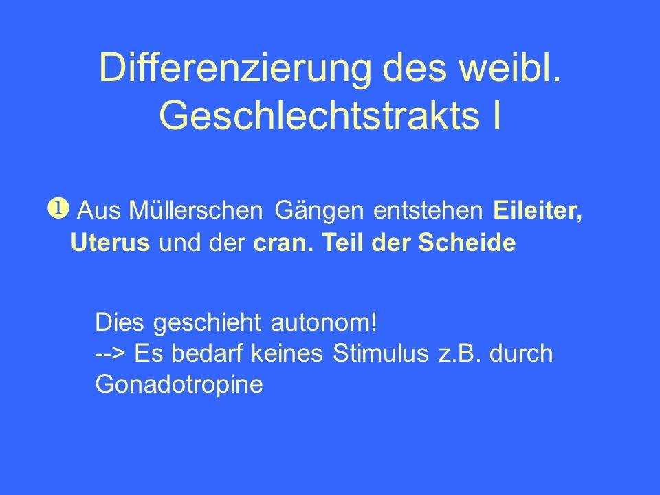 Differenzierung des weibl. Geschlechtstrakts I Dies geschieht autonom! --> Es bedarf keines Stimulus z.B. durch Gonadotropine Aus Müllerschen Gängen e