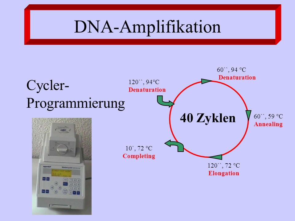 DNA-Amplifikation Cycler- Programmierung 40 Zyklen 10`, 72 °C Completing 120``, 94°C Denaturation 60``, 94 °C Denaturation 60``, 59 °C Annealing 120``