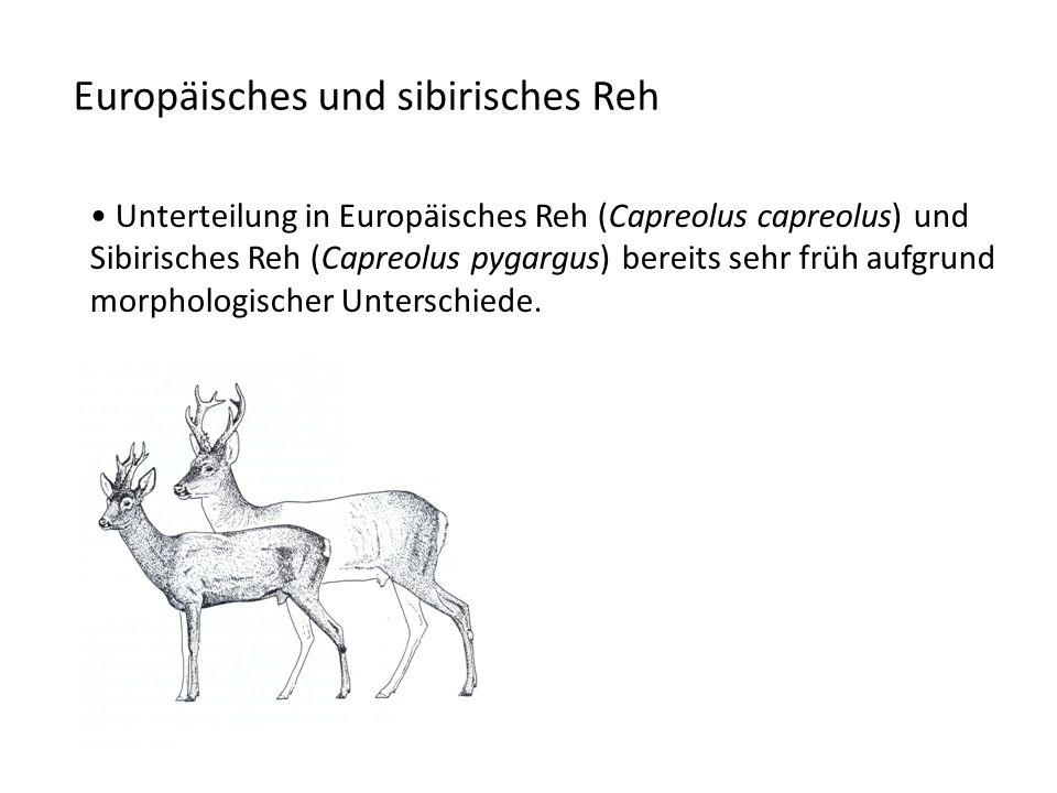 Europäisches und sibirisches Reh Unterteilung in Europäisches Reh (Capreolus capreolus) und Sibirisches Reh (Capreolus pygargus) bereits sehr früh aufgrund morphologischer Unterschiede.