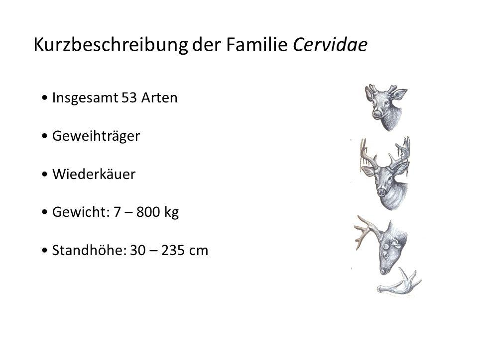 Kurzbeschreibung der Familie Cervidae Insgesamt 53 Arten Geweihträger Wiederkäuer Gewicht: 7 – 800 kg Standhöhe: 30 – 235 cm