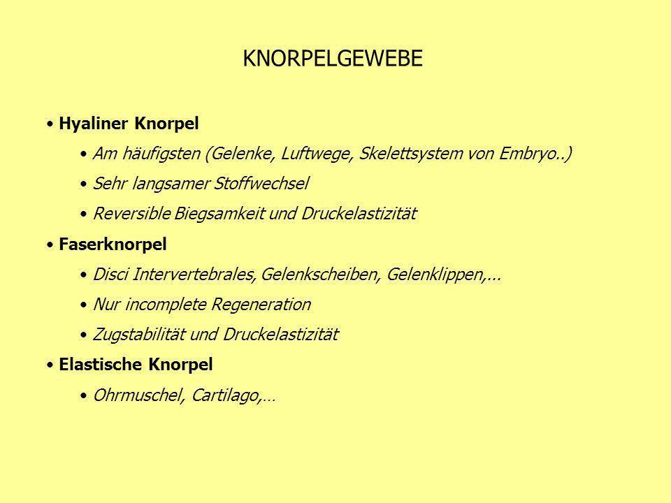 KNORPELGEWEBE Hyaliner Knorpel Am häufigsten (Gelenke, Luftwege, Skelettsystem von Embryo..) Sehr langsamer Stoffwechsel Reversible Biegsamkeit und Dr
