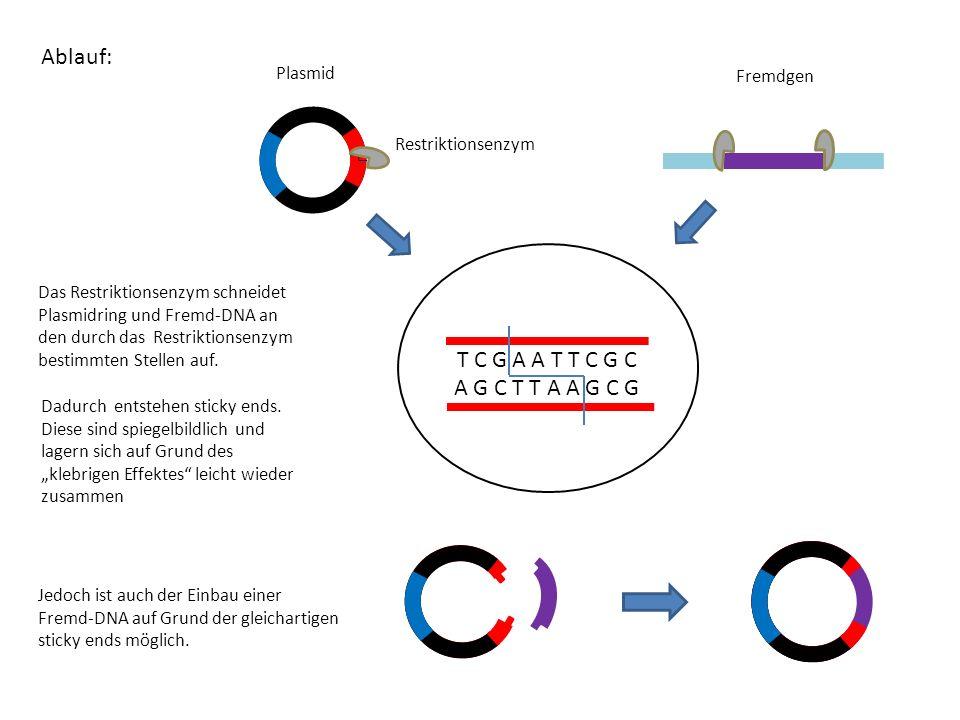 Ablauf: Das Restriktionsenzym schneidet Plasmidring und Fremd-DNA an den durch das Restriktionsenzym bestimmten Stellen auf. A A T T C G C A G C T T A