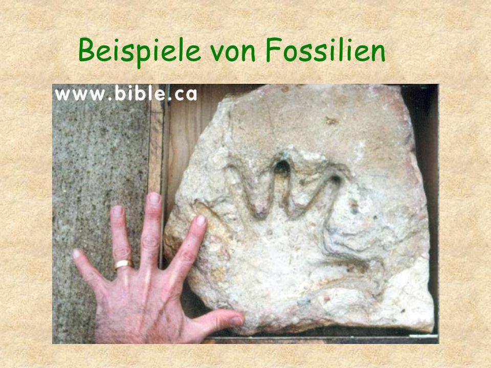 Beispiele von Fossilien