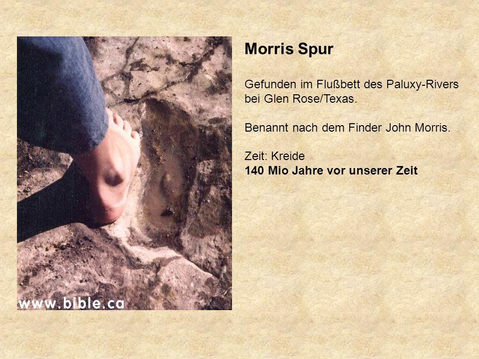 Morris Spur Gefunden im Flußbett des Paluxy-Rivers bei Glen Rose/Texas.