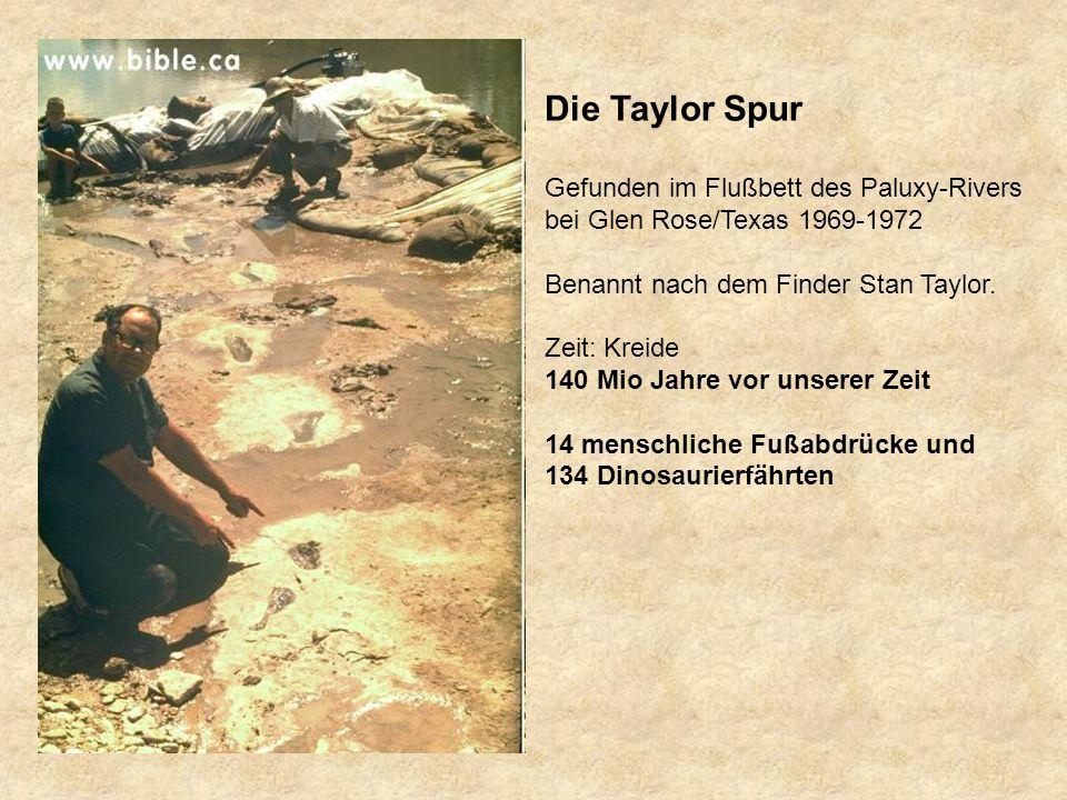 Die Taylor Spur Gefunden im Flußbett des Paluxy-Rivers bei Glen Rose/Texas 1969-1972 Benannt nach dem Finder Stan Taylor.