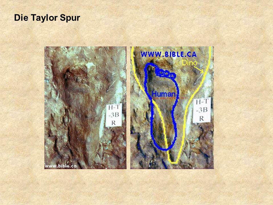Die Taylor Spur