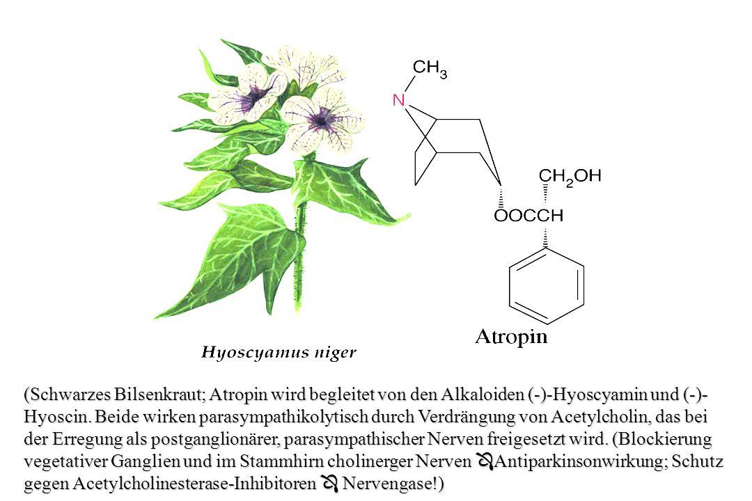 A) Das Piperidin-Alkaloid Coniin, aus Conium maculatum, (Schierling, Familie der Doldengewächse, Apiaceae) das erste auch synthetisch hergestellte, ist extrem giftig, da es eine Lähmung der motorischen Nervenenden bewirkt.