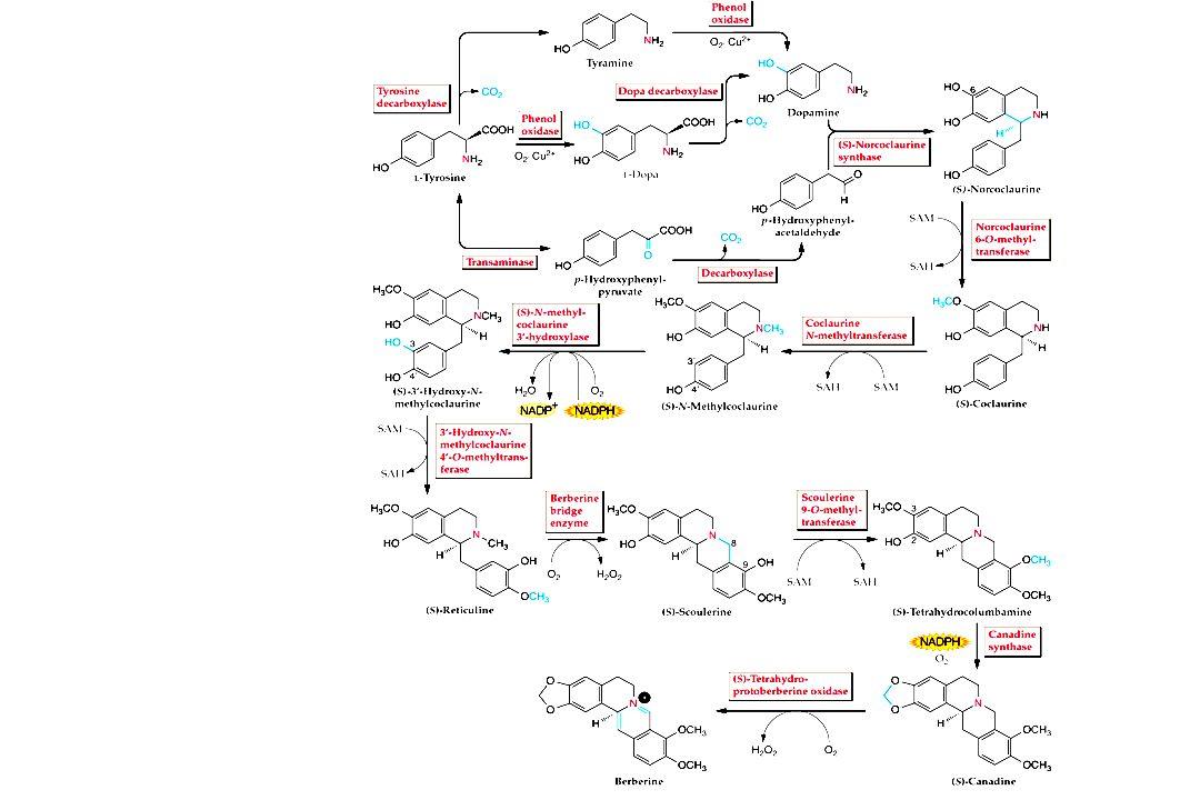 Vinblastin Vincristin Chinin Strictosidin, das Produkt aus Tryptamin und Secologanin, ist die Vorstufe für viele Spezies- spezifische Alkaloide