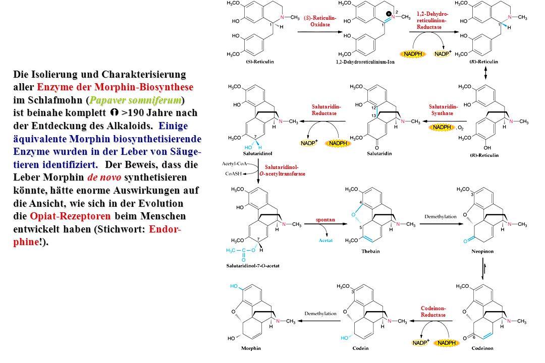 (S)-Reticulin wird als chemisches Chamäleon bezeichnet: Abhängig da- von, wie das Molekül ver- dreht und verbogen wird, bevor es enzymatisch oxi- diert wird, entsteht eine große Anzahl vom Tetra- hydrobenzylisochinolin abgeleiteter Alkaloide mit bemerkenswerter Vielfalt von Strukturen.