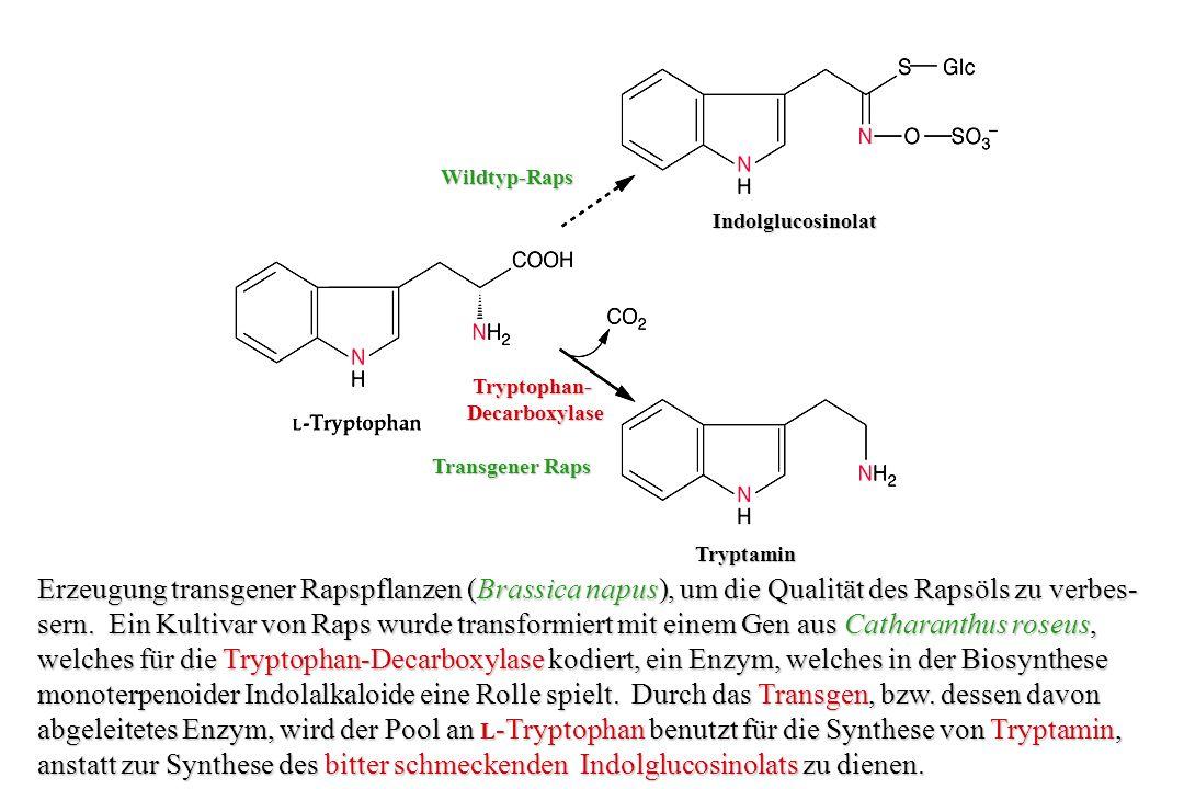 Hyoscyamin- Hyoscyamin- 6 -Hydroxylase Hyoscyamin- 6 -Hydroxylase Reaktionsweg zum Tropanalkaloid Scopolamin: Ein einzelnes Enzym katalysiert zwei aufeinander folgende Schritte, nämlich die Hydroxylierung von Hyoscyamin, gefolgt von der Epoxydierung zum Scopolamin.